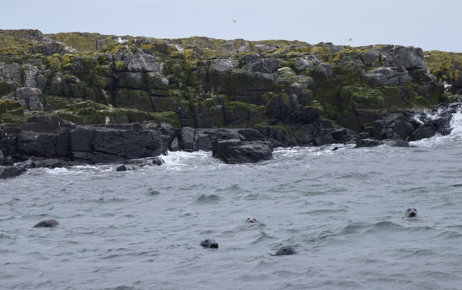 Farne Island Boat Trips with Serenity | A review and what to expect with kids - seals by boat