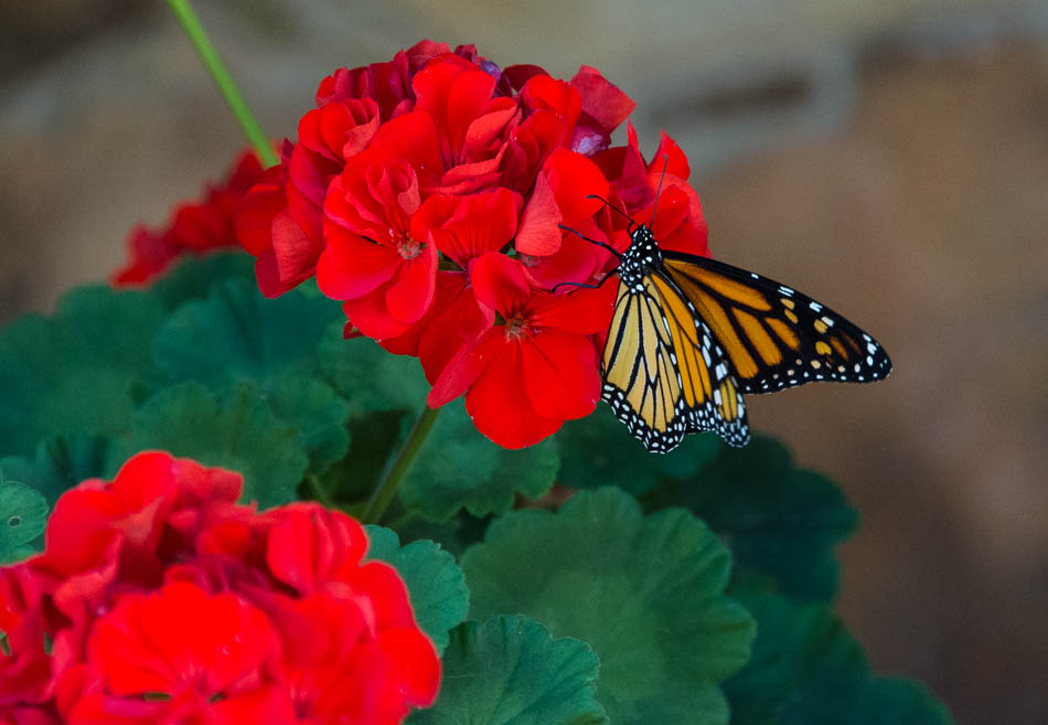 monarch butterfly on red geranium
