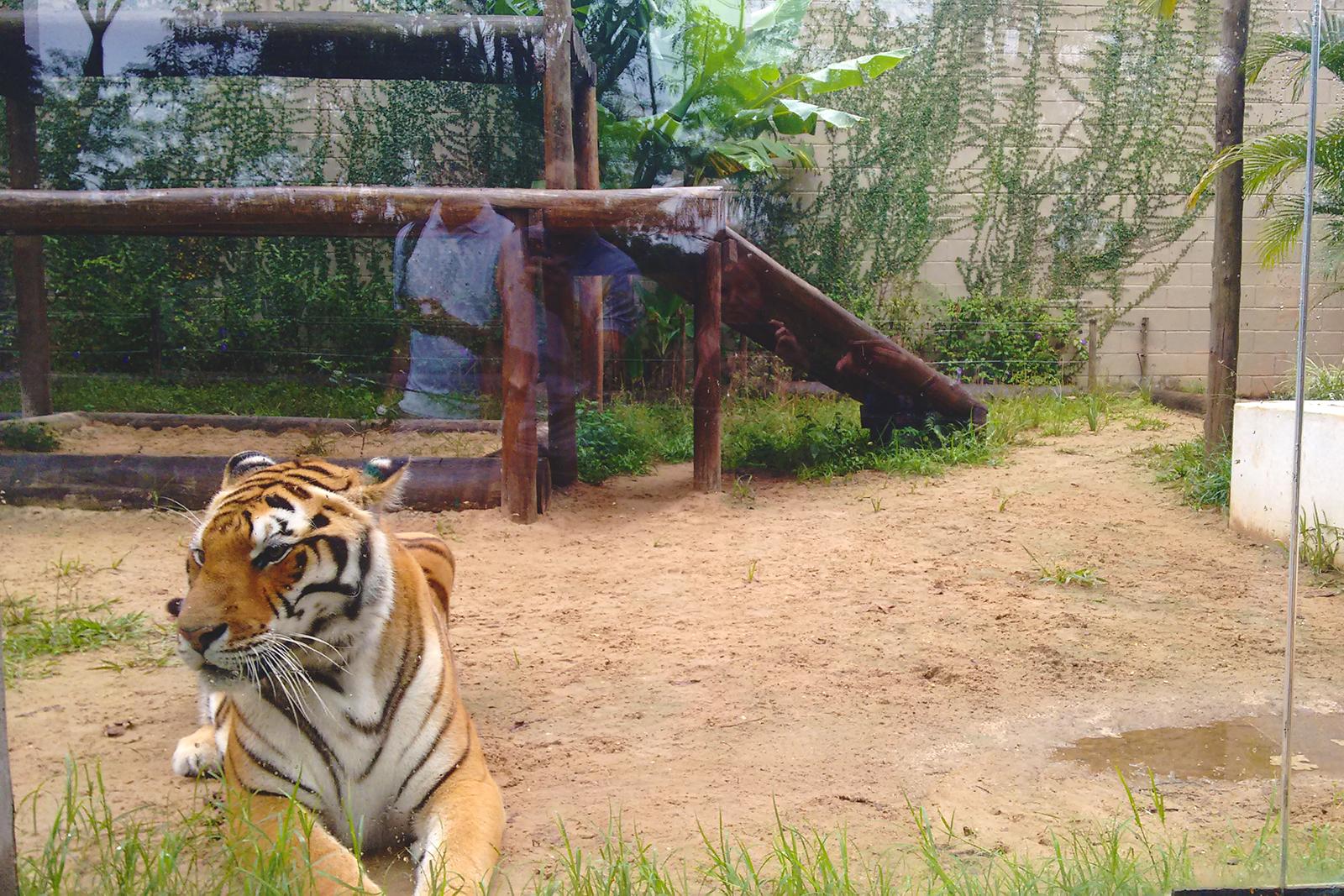 tigre deitado olhando para o lado