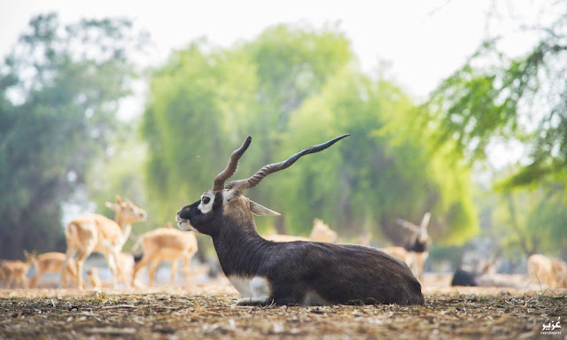 Black Bucks at Lal Sunhara National Park