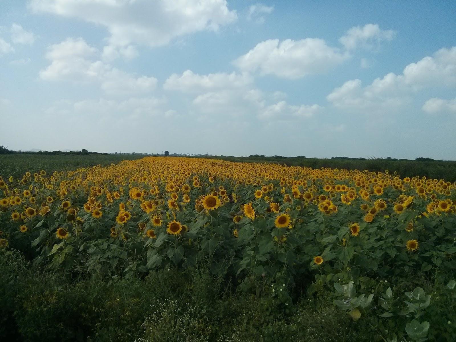 sunflower fields 2 by - photo #10