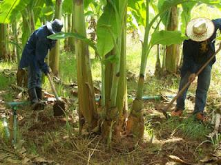 วิธีการปลูกกล้วยน้ำว้าเงินแสน