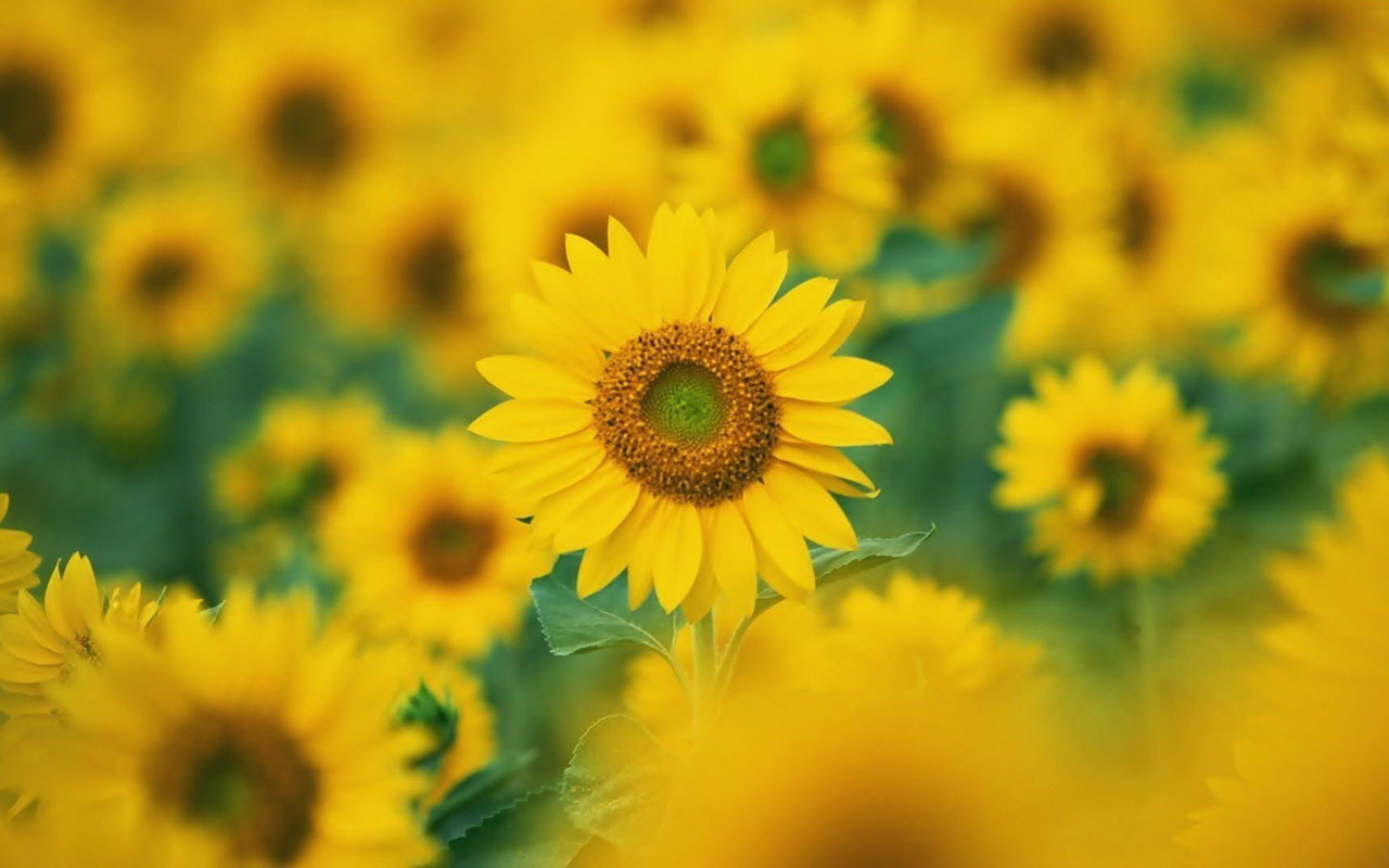 wallpapers: Sunflowers Desktop Wallpapers