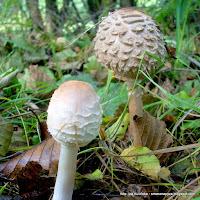czubajki, grzyby, grzybobranie, czy to kania, jaki to grzyb, mykologia, atlas grzybow, grzyby gatunkami