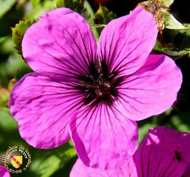 VILLERS-LES-NANCY (54) - La roseraie du Jardin botanique du Montet - Rosa foetida bicolor