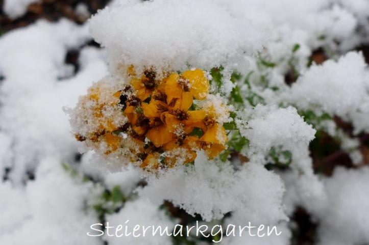 Gewürz-Tagetes-im-Schnee-Steiermarkgarten