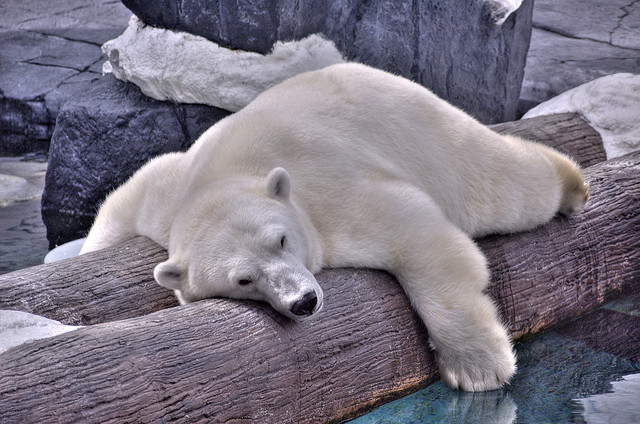 be345263155 Hella Heaven  Polar bear napping on a log by Fred Voetsch