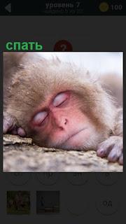 на земле спит обезьяна, положив морду и закрыв глаза