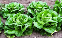 Types of Lettuce