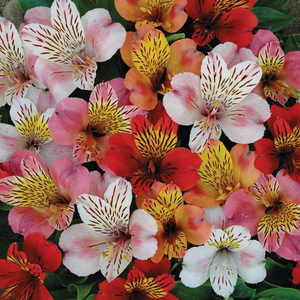 Types Of Lily Names: Alstroemeria - The Lily Of The Incas
