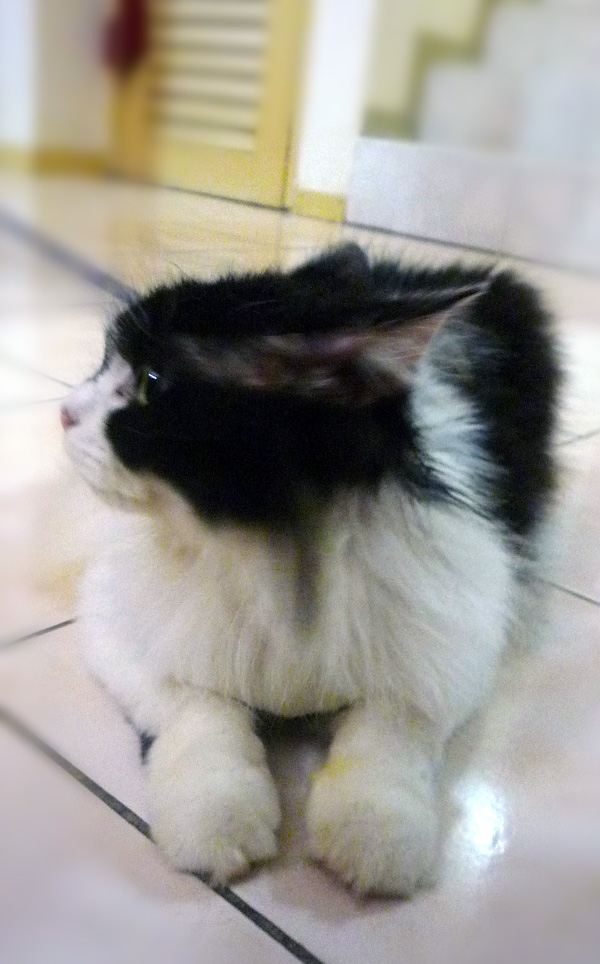 White Fluffy Cat Breed - Cats Types