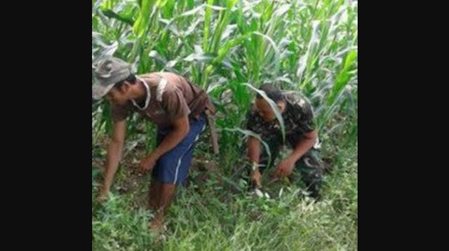Kebersamaan Petani dan Babinsa Terlihat Jelas Saat Lakukan Pembersihan Lahan Jagung dari Gangguan Gulma