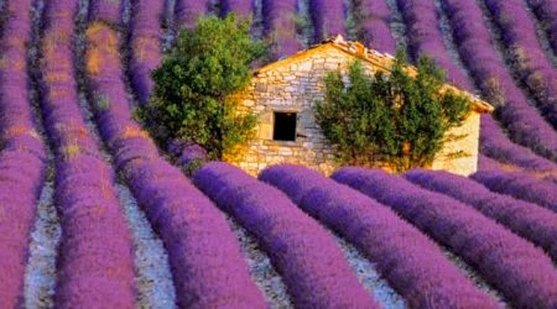 20 Stunning Pictures Of Lavender Fields In France-4635