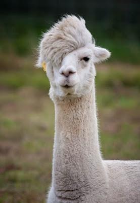 Vicugna pacos, conhecido pelo nome comum de alpaca, é um mamífero, sul-americano estreitamente aparentado com a vicunha e um pouco mais distante com o guanaco e a lhama.