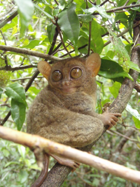 Although the tiny tarsier is a marvel of the Creator's skill, evolutionists are compelled to put some fact-free spin on discoveries.