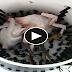 Plucking 3 Big Chickens