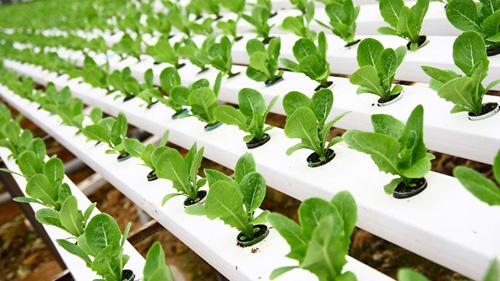 Cara Budidaya Tanaman Hidroponik dengan Pupuk Organik NASA | www.agrotaninusantara.com