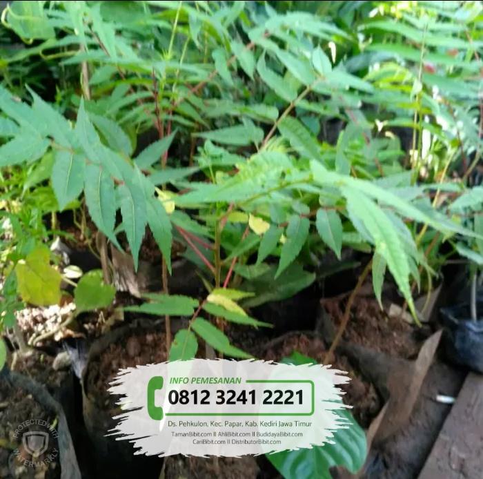 Jual Bibit Pohon Suren / Surian