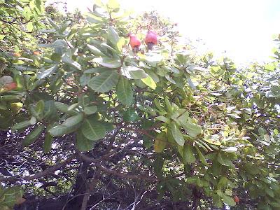 arboles Espavel Anacardium excelsum