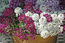 artikel bunga alyssum