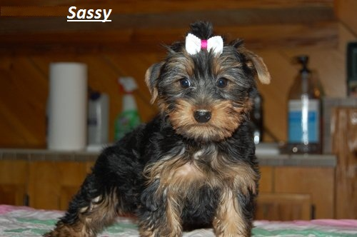 yorkshire terrier for adoption yorkshire terrier puppies for adoption 6807