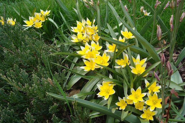 tulipany tarda, kwiaty wiosenne