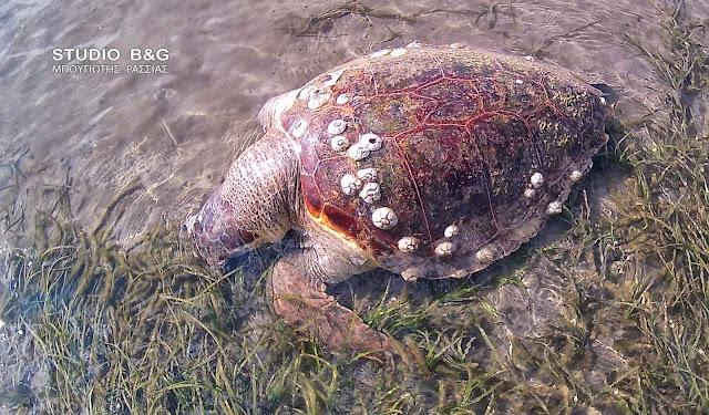 Νεκρή ακόμα μια θαλάσσια χελώνα στον Αργολικό κόλπο