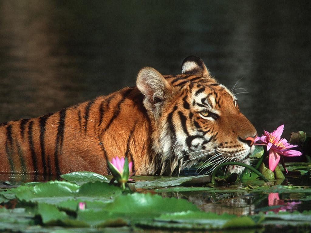 Tiger Hd Wallpapers: Beautiful Tiger Wallpapers