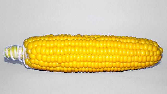 Nice-sized ear of corn on the cob
