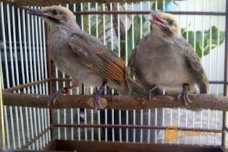 Burung Cucak Rowo - Sisik pada Kaki Burung Cucak Rowo Bahaya Tidak? - Penangkaran Burung Cucak Rowo