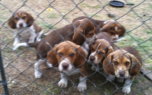 Beagles, but not average beagles....Chocolate Covered