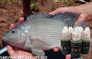Umpan Untuk Ikan Nila Master Essen Katilayu