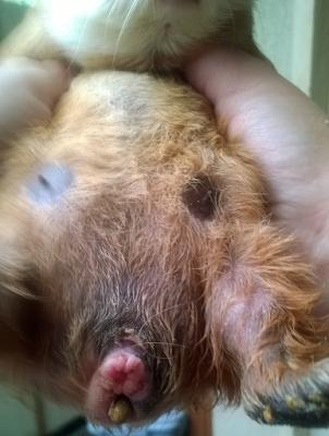 herida en el pene de un cobayo macho adulto