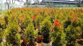 Jual Bibit Pohon Pucuk Merah,Jual Bibit Tanaman Hias Pucuk Merah,Bibit Pohon Pucuk Merah Murah