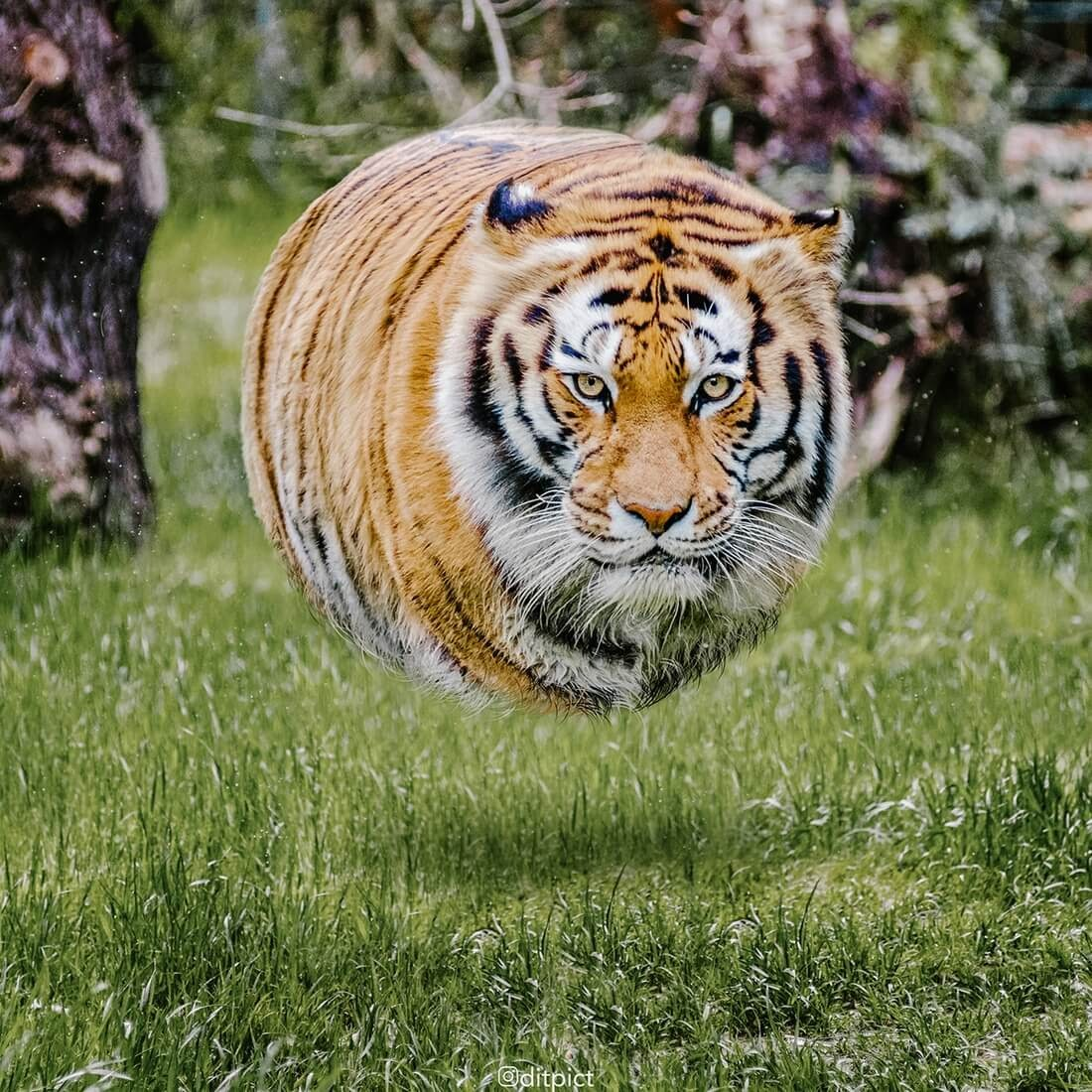 01-Tiger-Aditya-Aryanto-Surreal-Animals-Ball-Photo-Manipulations-www-designstack-co