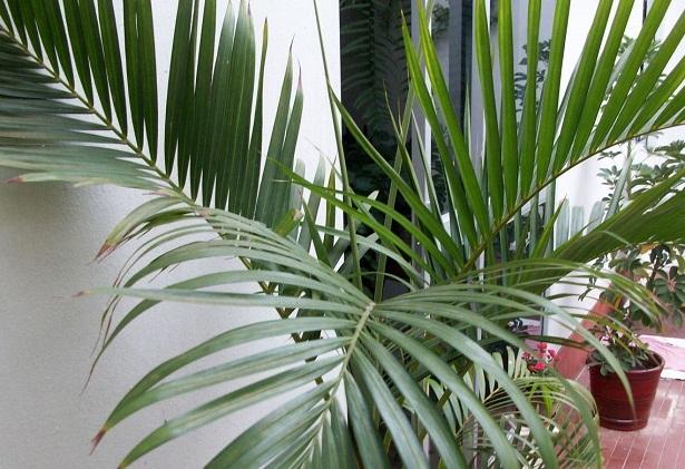 Plantas e jardins plantas flores e jardinagem plantas for Plantas de interior tipo palmera