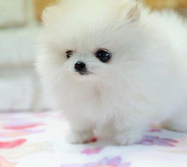 Cute Puppy Dogs Cute Pomeranian Puppies