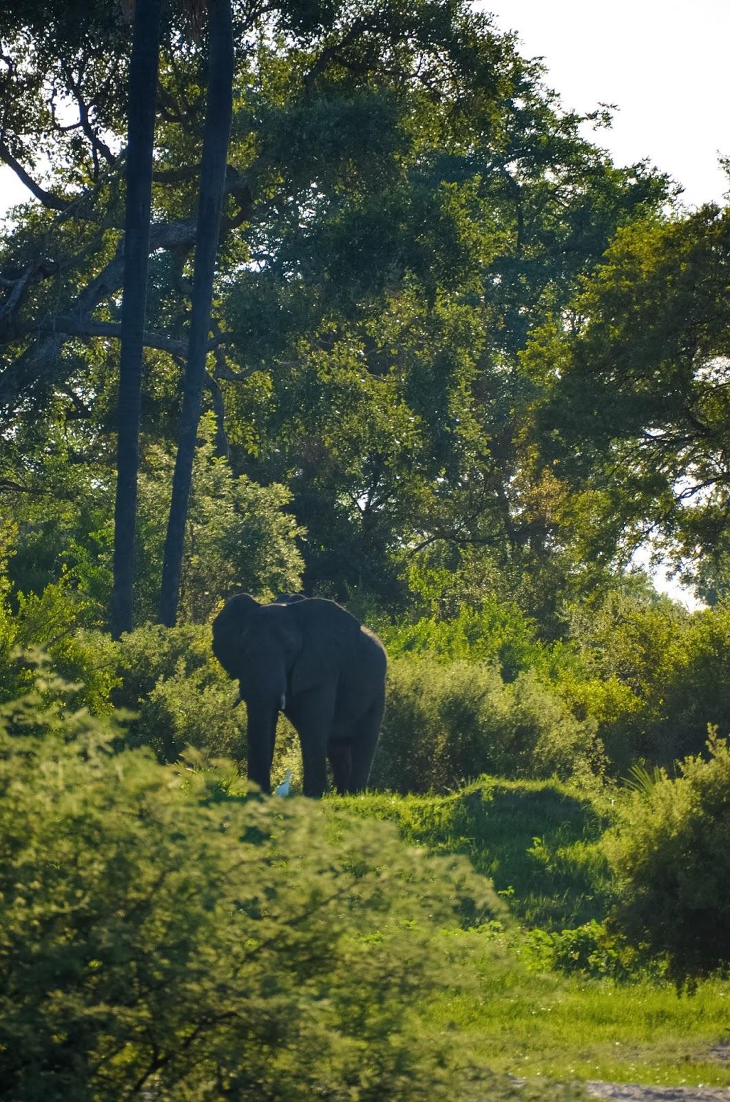 elephant on the banks of the zambezi