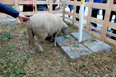 Овца на Выставке хризантем
