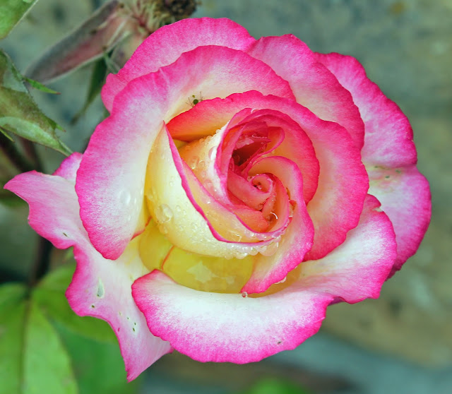 A garden rose showing filling the frame photography composition