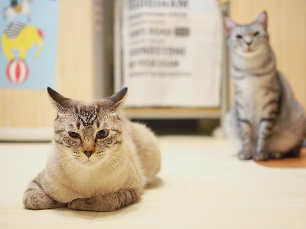 シャムトラ猫とサバトラ猫
