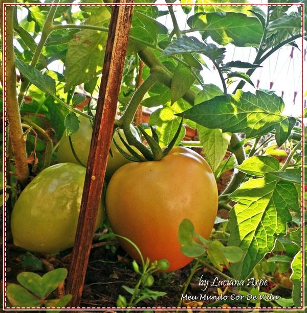 tomate orgânico