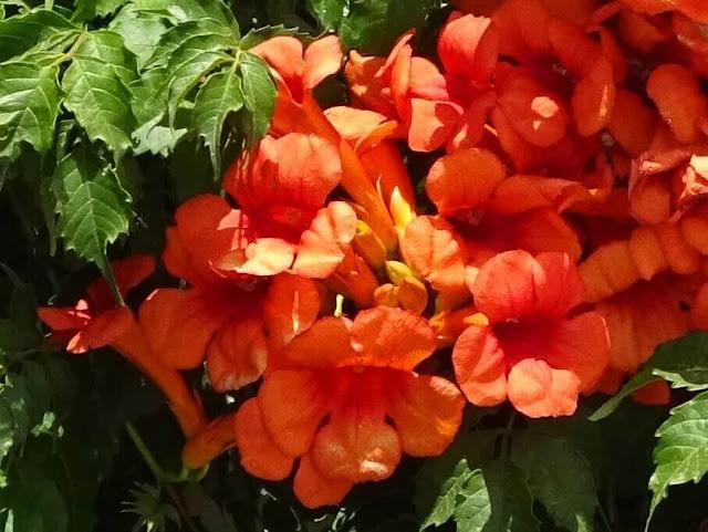 Trombeta Chinesa - Campsis grandiflora