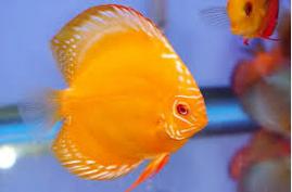 Sejarah Ikan Hias Discus Brazil