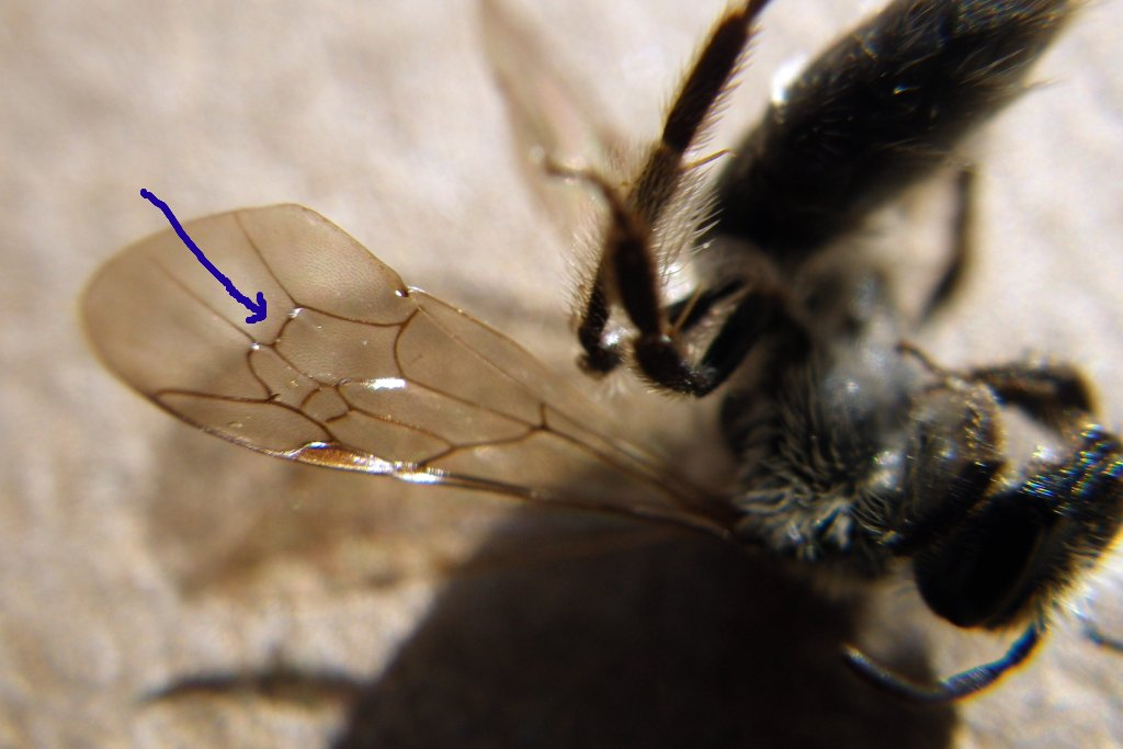 Nature Posts: Bees that dig holes in the ground - Miner Bees, Part III