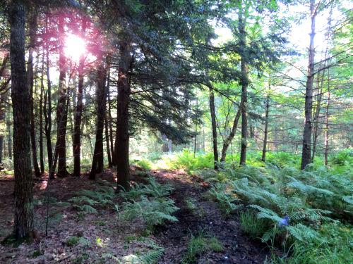 sun through hemlocks on a trail