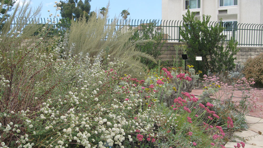 Mother natures backyard a water wise garden plant of the month seacliff dune buckwheat eriogonum parvifolium white flowers left mightylinksfo