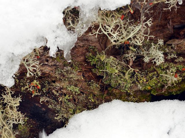 snow lichens old log