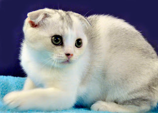 Anak Kucing Scottish Fold