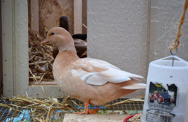 Soaring Hawks Farm Call Ducks